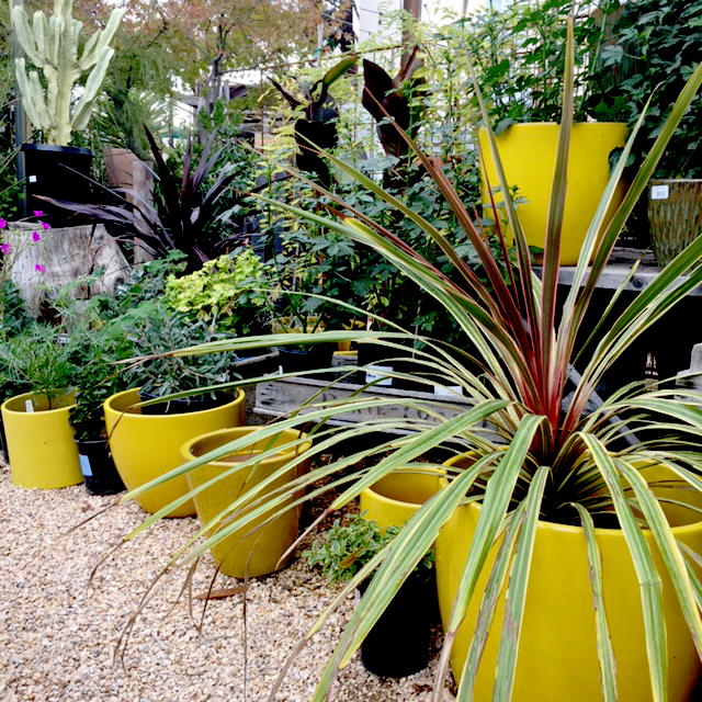 Yellow pots.jpg