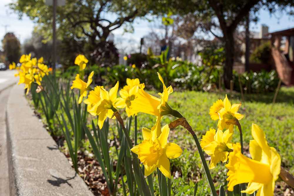 34 Daffodils.jpg