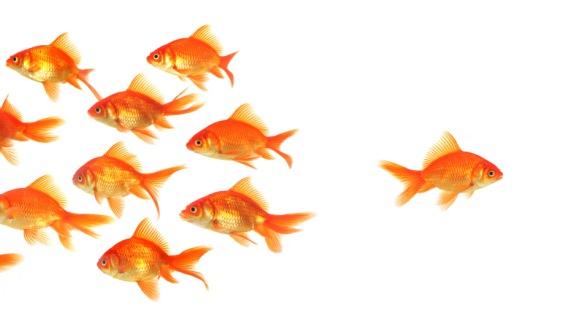 Goldfish-Special565