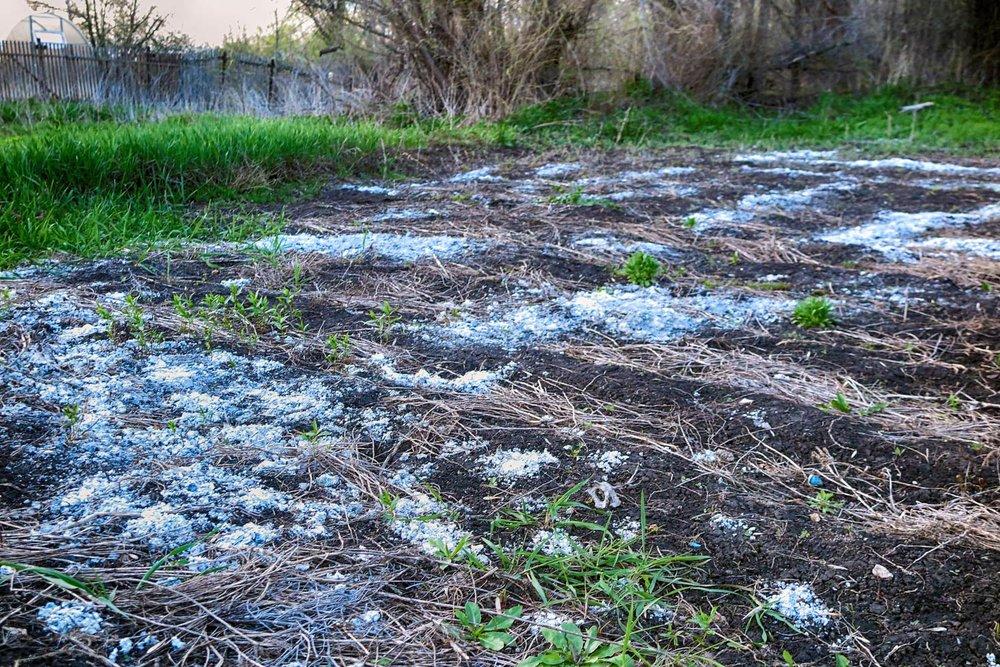 Blanding av gjærende ugress med vann (dekket med grønne alger) som skal brukes som en organisk flytende gjødsel.