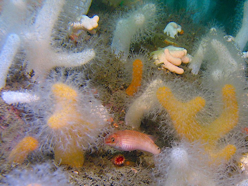 Koraller. Død manns hånd og fisken stensultre. Foto: Thomas Lundälv