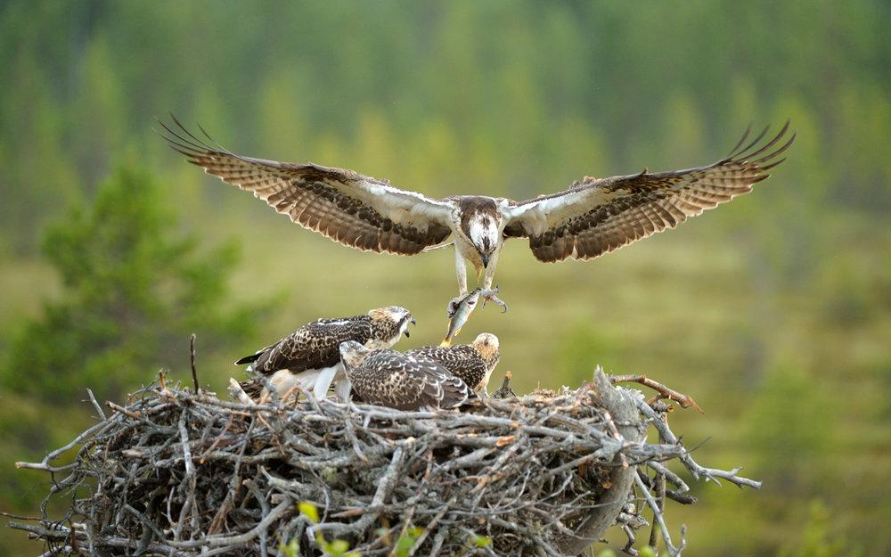 Fiskeørna bygger alltid redet øverst i treet, og er eneste fuglen som gjør det.