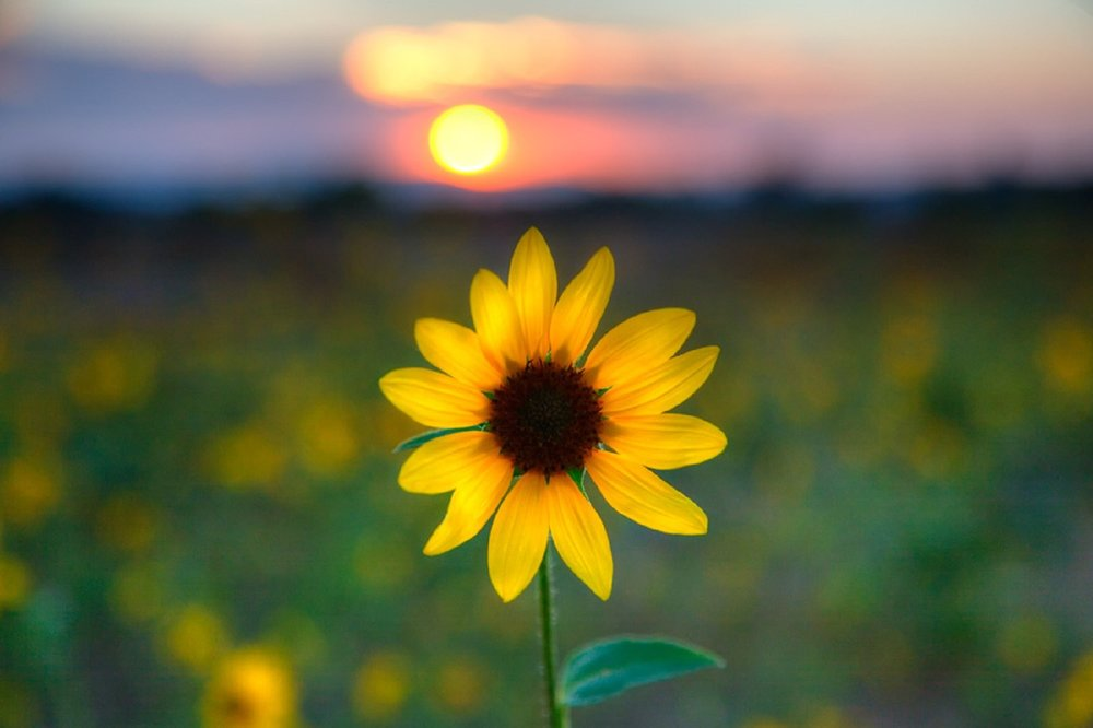 flowers-goodnight-flower-yellow-hello-sunshine-nature-sunset-sunflower-beautiful-photography-picture-in-hd.jpg