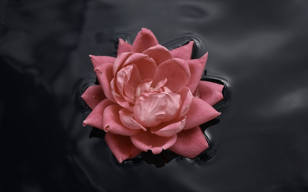 ws_Floating_Rose_2560x1600.jpg
