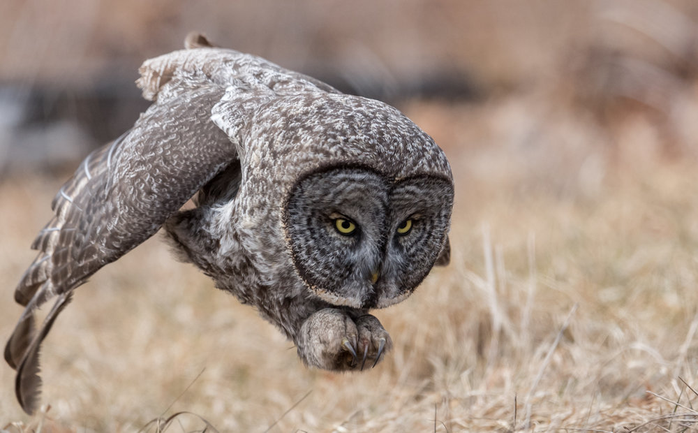 Great Gray Owl - This great gray owl image is my all time favorite photo that I have taken. This picture won the People's Choice Award in the 2017 National Geographic Nature Photographer of the Year contest and has been published worldwide. I made the 7 hour trip from my home to New Hampshire where this owl was located on a day when temperatures were close to -20F degrees with the strong winds. I had been photographing this owl from a distance when it began its evening hunt. The owl took flight and landed on a post that was only a few feet from me. Being that I was shooting with a 600mm lens I had to quickly back up as the owl was too close. While I was in the process of relocating, the owl spotted a vole in the grass below it and attacked. I rushed to get set up just in time to capture the tail end of the owl's attack. The first few frames were out of focus as I had not fully set up yet, but luckily this photo was one of the few that turned out perfectly! Camera settings: Nikon D5 & 600mm f4 VR lens: Manual Mode: 1/2500, f5.6, ISO 1250.