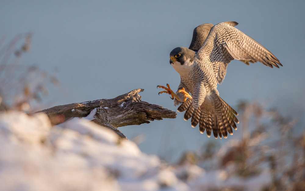 Peregrine Falcon -  This image is of a peregrine falcon landing on snowy cold morning in New Jersey. The falcons at this location hang out on the cliffs at 500 feet above the Hudson River. Often when the falcons come in to land, they approach from underneath this branch which is not visible from the angle I took this photo. In order to get this one, I set my camera up on manual focus and pre focused on the end of the tree branch. Using a wireless remote I was able to stand 75-100 feet away from the camera where I had a clear view of the falcon's flight path. Once the bird was close to landing I simply hit the remote shutter and the rest is history. Camera settings: Nikon D800e & 600mm f4 VR lens: Manual Mode: 1/1600, f5.6, ISO 1600.