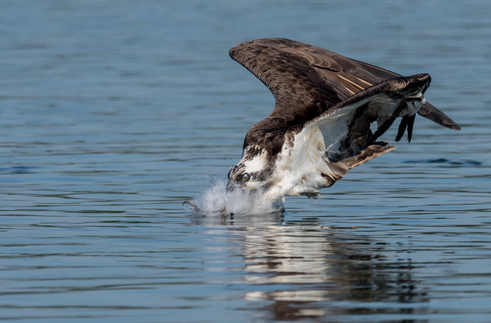 Osprey - I took a trip to Connecticut in the summer of 2016 to photograph osprey with my friend and very talented photographer, Kristofer Rowe (https://www.facebook.com/KristoferRowePhotography). My goal was to get a shot of an osprey fishing with its talons forward. After many years of trying, it finally happened. Osprey dive at a high rate of speed and only put their talons forward in this position just moments before hitting the water. I waited till the last moments of the approach to make sure the osprey was in focus and fired away. Shooting at 10 frames per second I was lucky enough to get the bird in its final moment before submerging into the water. A truly amazing thing to witness. This photo was taken using Nikon's newer