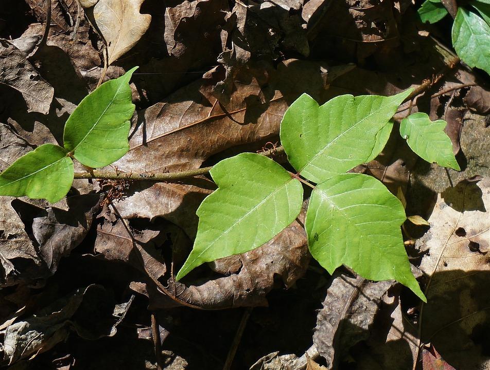 poison-ivy-1652109_960_720.jpg