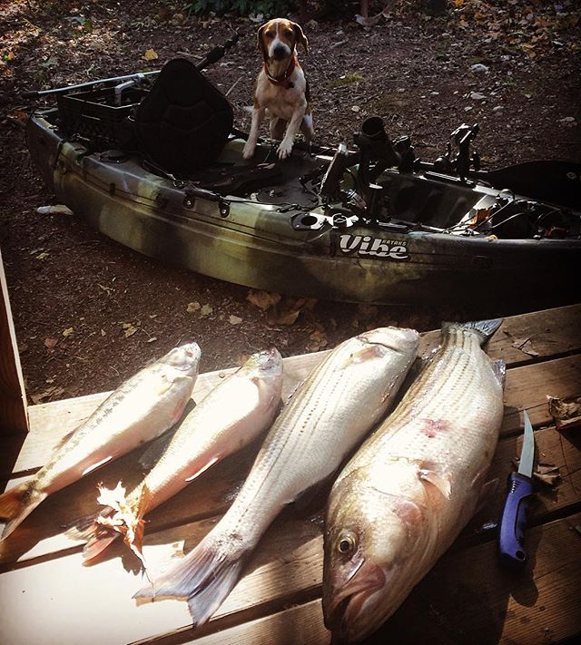 Mama said she wanted some fish. #striper #striperfishing #kayak #kayakfishing #vibekayaks #sj90 #rescuedog #rescue #mansbestfriend #riverwolf #tapoweclips #tacticalanglers #tacrossover @vibekayaks @tactical_anglers