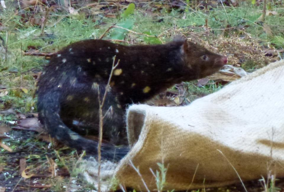 Spotted-tailed quoll