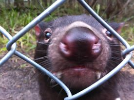 "An inquisitive Tasmanian devil at Healesville Sanctuary, Victoria, part of the captive breeding ""insurance"" population."
