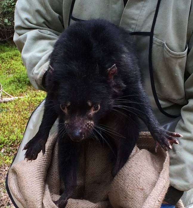 Releasing a Tasmanian devil after data collection.