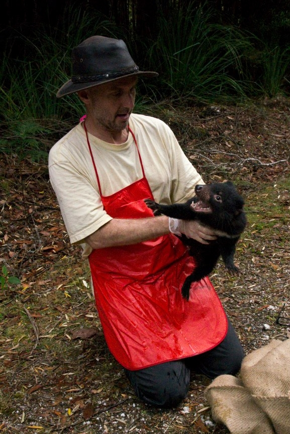 Researcher Channing Hughes prepares to release a young Tasmanian devil after data collection.
