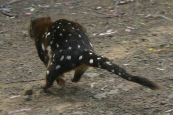 A spotted-tailed quoll runs off after being released following data collection.