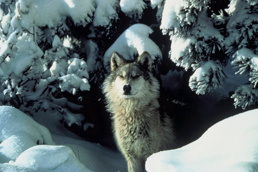 Reintroduction of the gray wolf to Yellowstone National Park has reduced pressure from an overpopulation of elk, allowing both plant and animal biodiversity to recover.