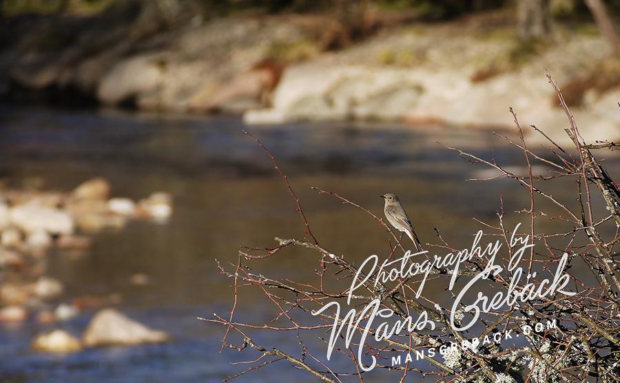 River Redstart