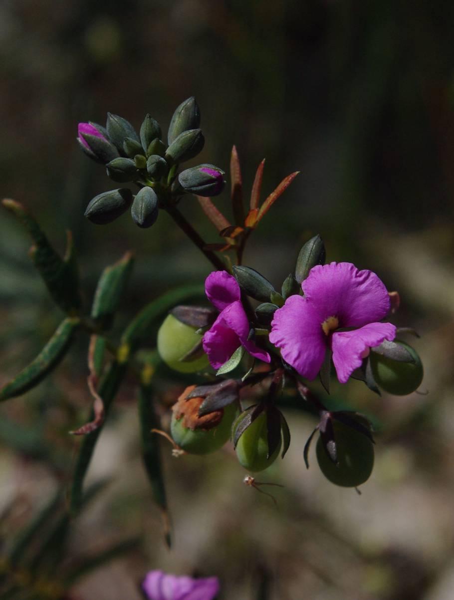 Gompholobium knightianum