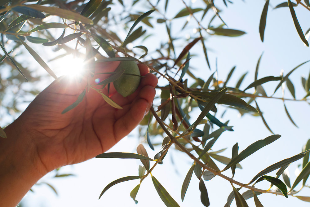 2-B-about_olive-picking.jpg