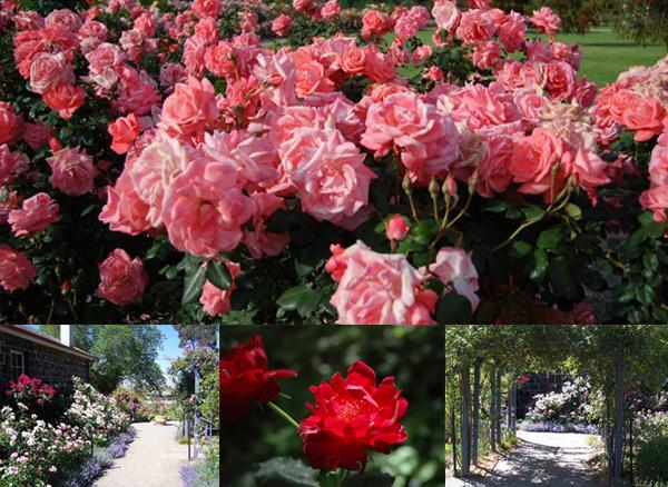 Alister Clark Memorial Rose Garden, Bulla.jpg
