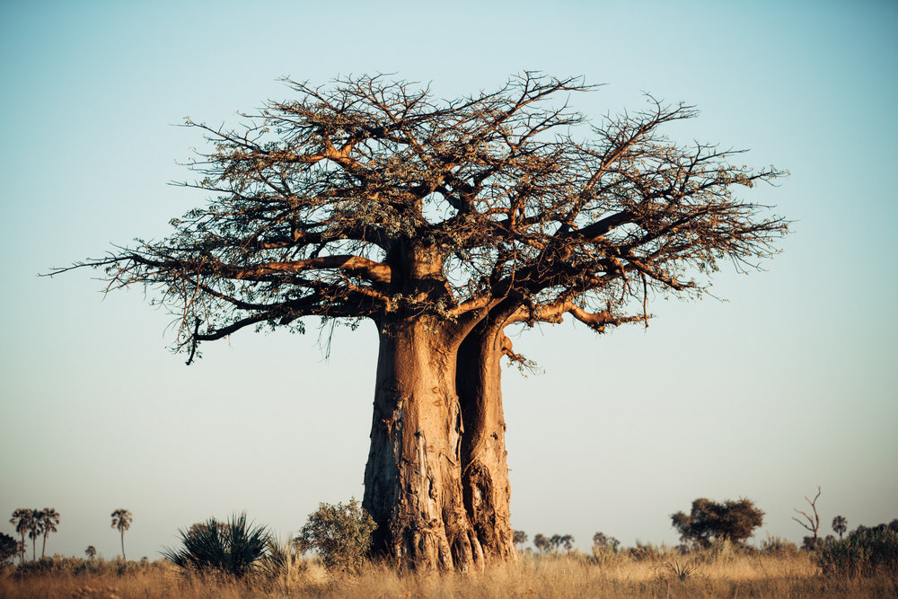A towering baobab tree in the delta. Upon closer inspection, you can see the wear and tear from elephants' tusks on the bark of the tree.