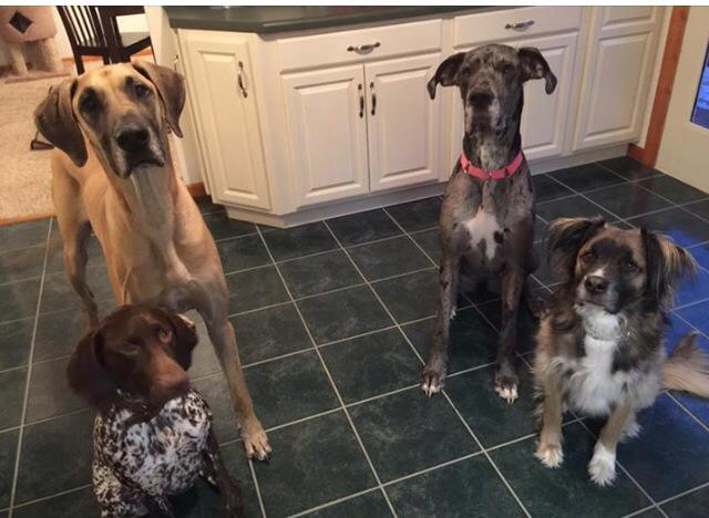 Olive is the one on the Left (Fawn and Black) and Presley (the Black merle) is also a GPPR adopted dog