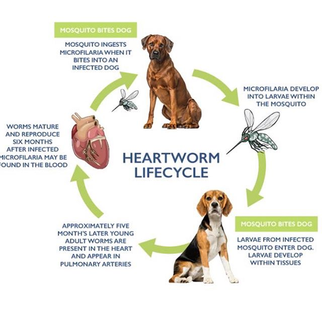 Please keep up on heartworm preventative for your pets. Your companions depend on you to keep them healthy. Giant Paw Prints now has three heartworm positive dogs (one dog's treatment is being sponsored, thank you). This is a very painful and stressful process to treat. ❤️🐛🚫 Tino, Hammer, and Bash are our heart-worm dogs.
