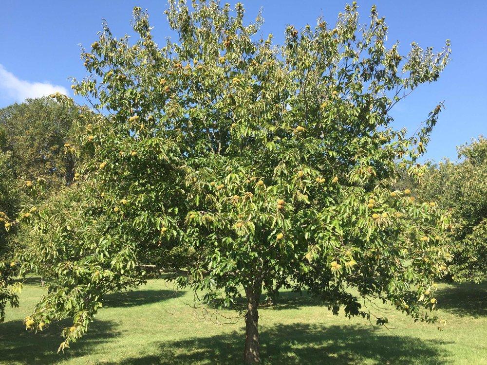 Chestnuts - Sep 15 2017 - 8-12 AM6.jpg