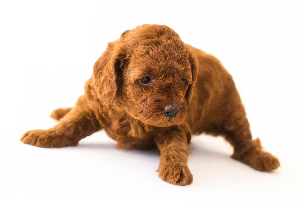 Red Miniature Poodle at about 4 weeks old