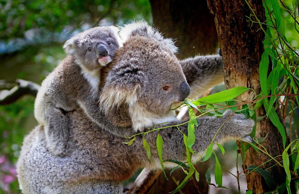 koala-61189_960_720.jpg