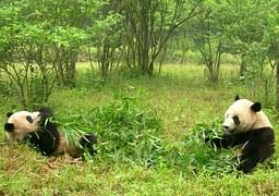 panda-1347184__180.jpg