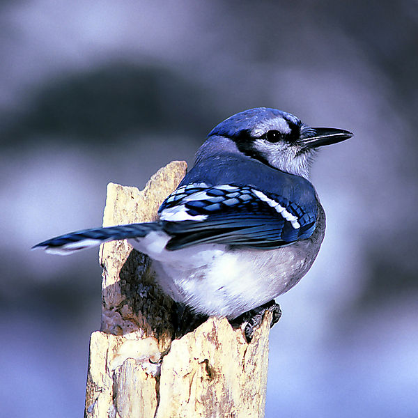 Blue Jay (Cyanocitta cristata) – DeSoto National Wildlife Refuge