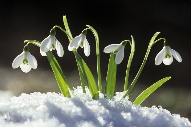 120069189_snowdrop_375279c