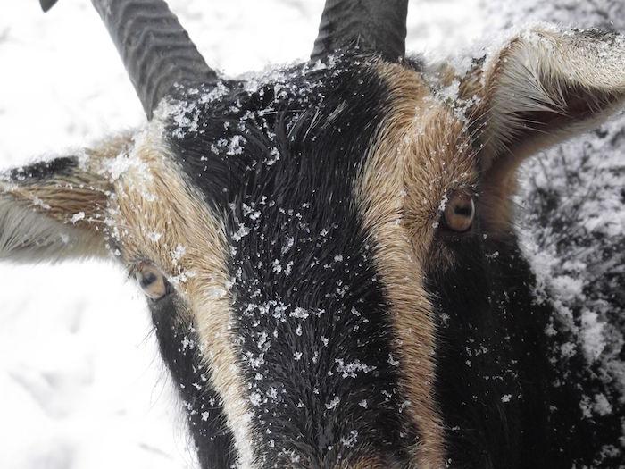 Magnificent Goat Crispina.jpg