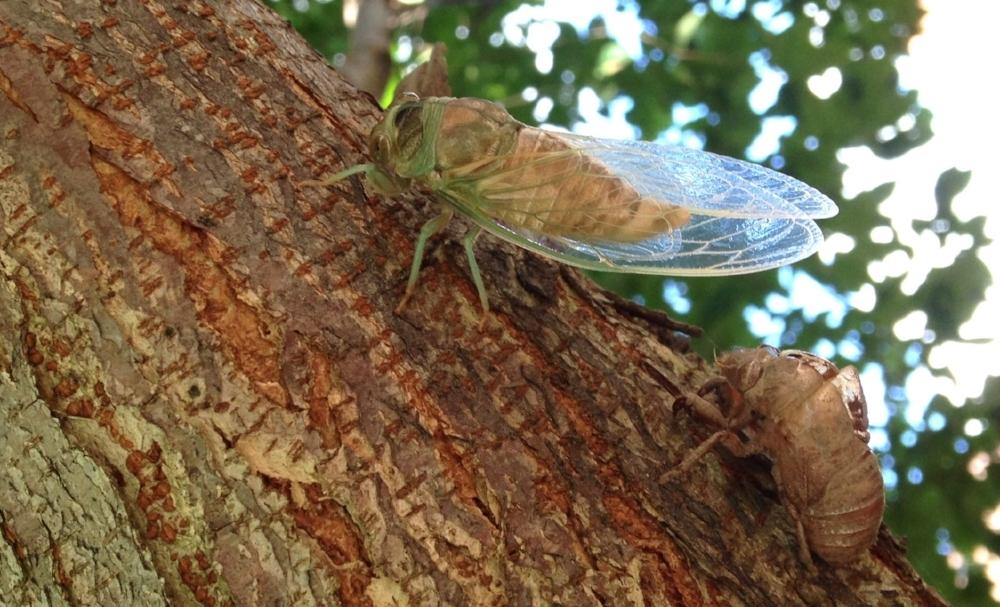 Cicada in a tree I climbed in September