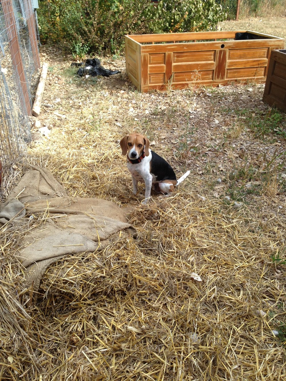 Grits, our rescue beags supervising the groundwork 3 summers ago