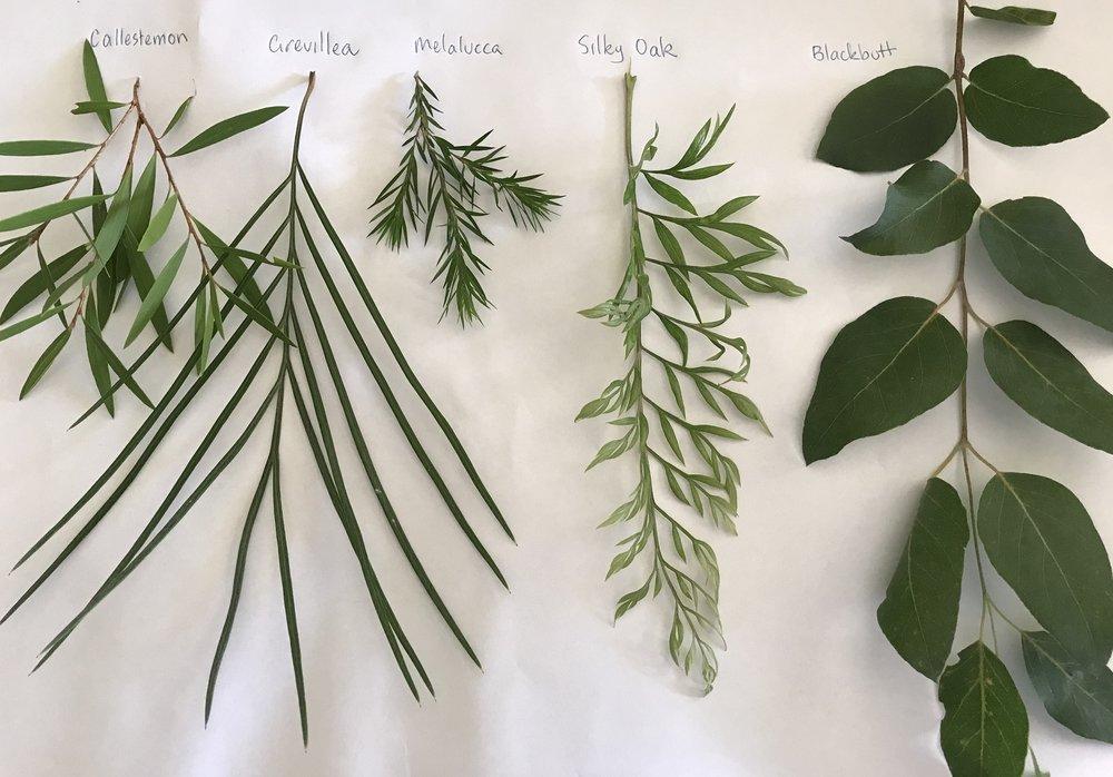 - Callistemon, Grevillea,Melalucca, Silky Oak, Blackbutt