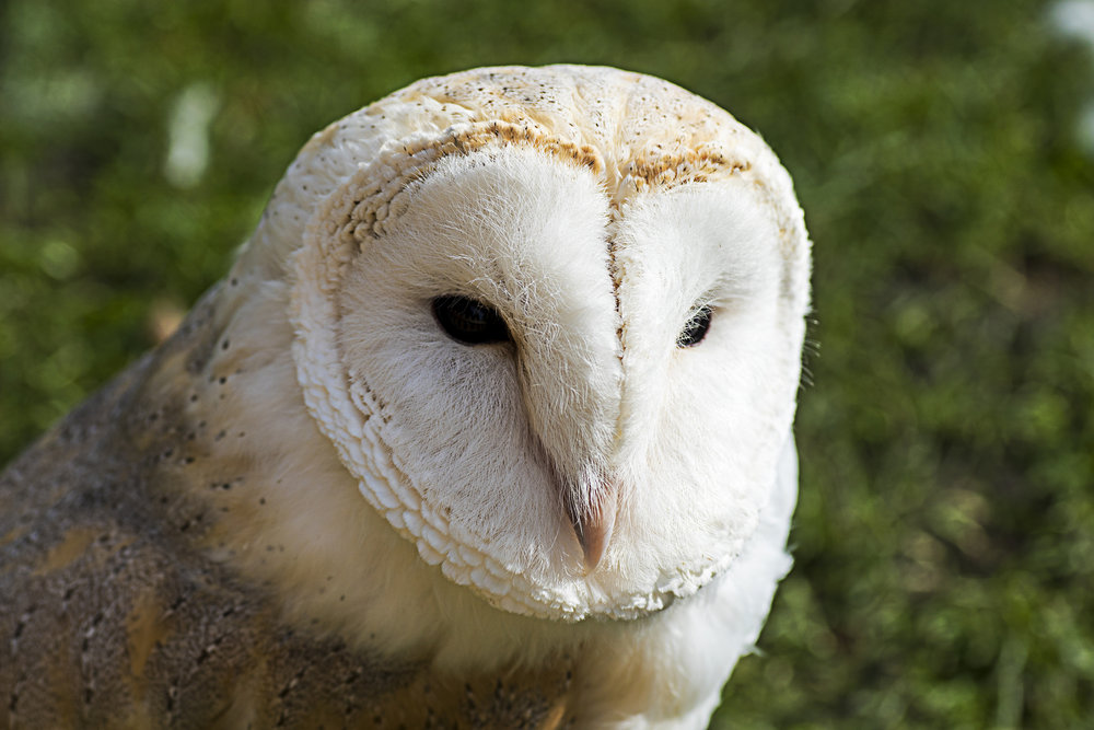 Barn owl looking unamused
