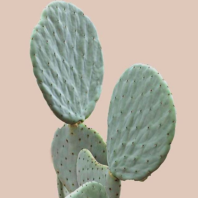 Prickly Hot #leaf #leafcreate . . . . . #plantsofinstagram #plants #cactus #succulents #mothernature #naturalbeauty #natural #green #plantsonpink #cacti🌵 #plantbased #plantlove