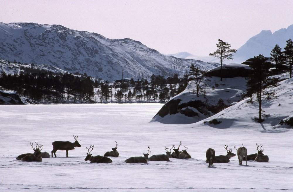 Reindeer in Nordland, Nord Norge.