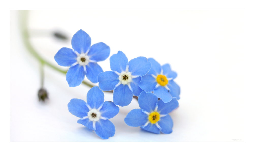 Forget-me-not by Svetlana Yarbus courtesy of Flickr.jpg