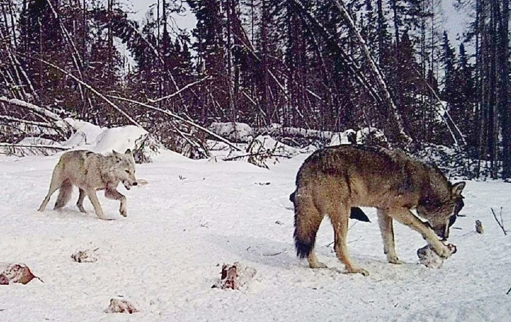 Wolf Hunt | Timber wolf playing with their food
