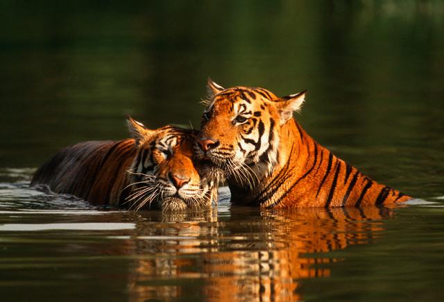 Rajasthan, tigersafari og strandferie på Goa
