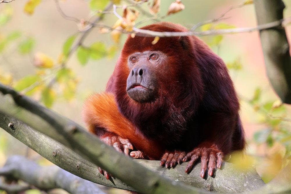 panama_bigstock-Red-Howler-Monkey-109924970.jpg