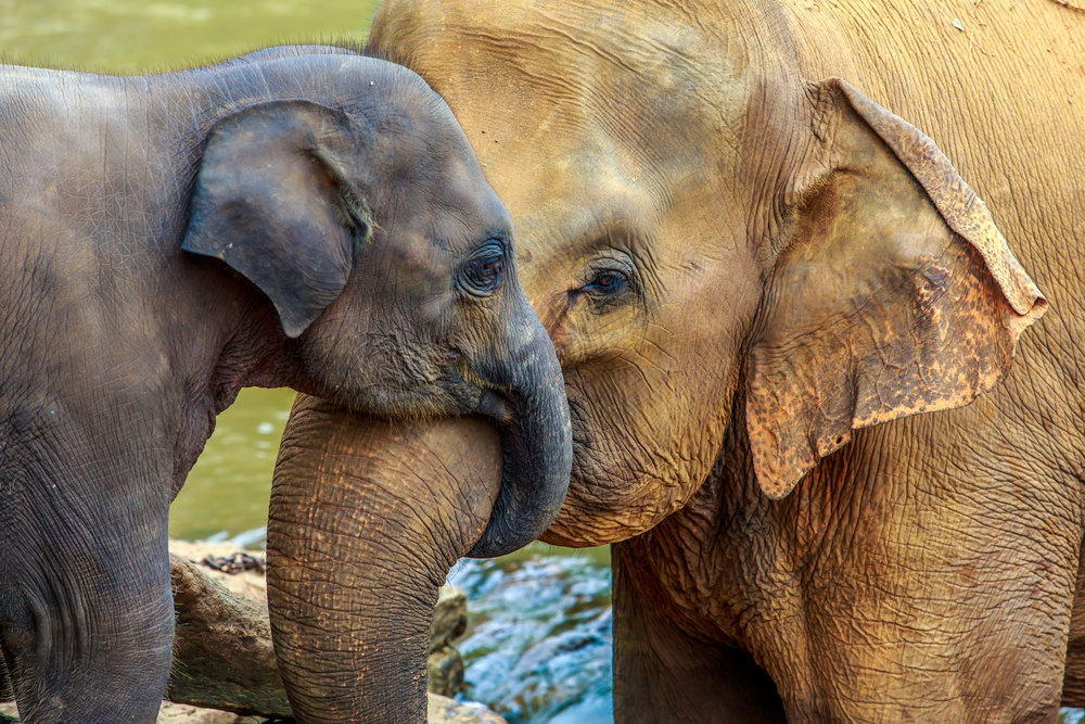 srilanka_bigstock-elephant-and-baby-elephant-76141319.jpg