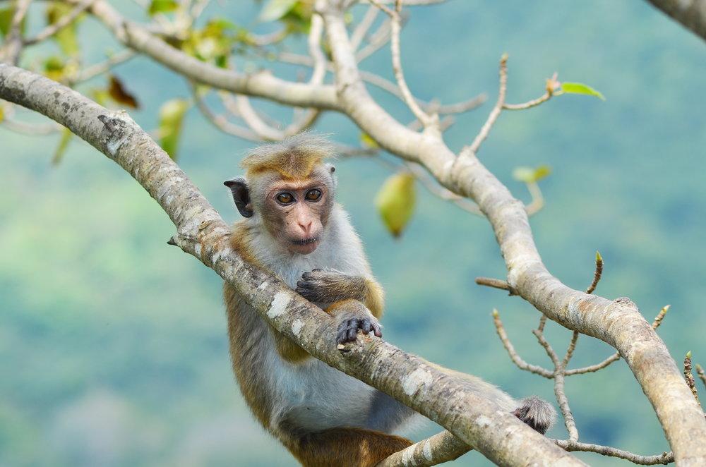 srilanka_lionsrock_bigstock-Young-monkey-o-the-tree--69615106.jpg