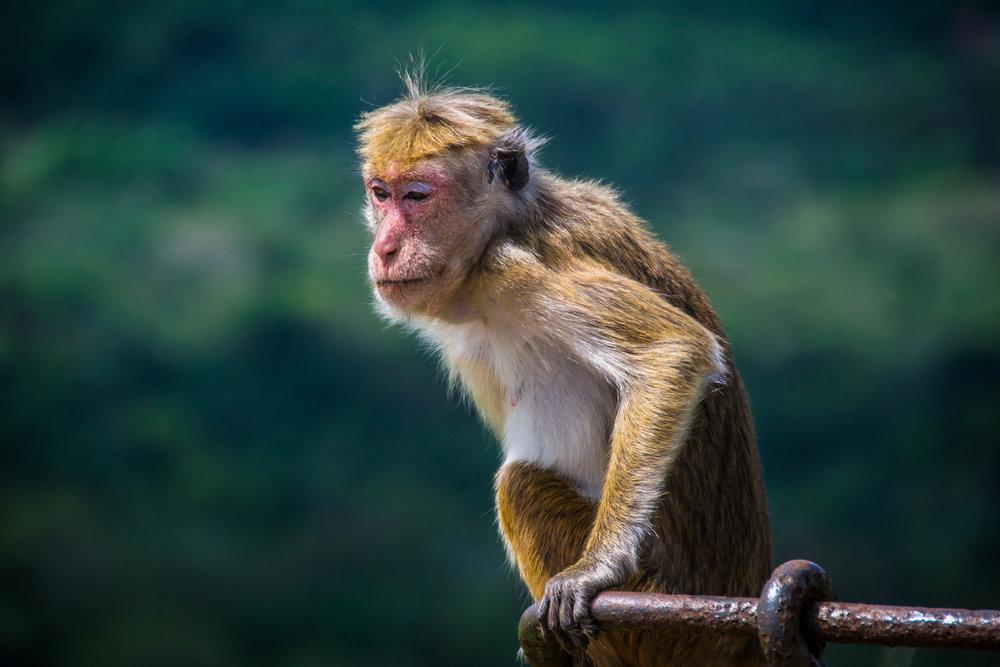 srilanka_sigiriya_bigstock-Monkey-Sitting-In-Sigiriya-Sr-87369986.jpg