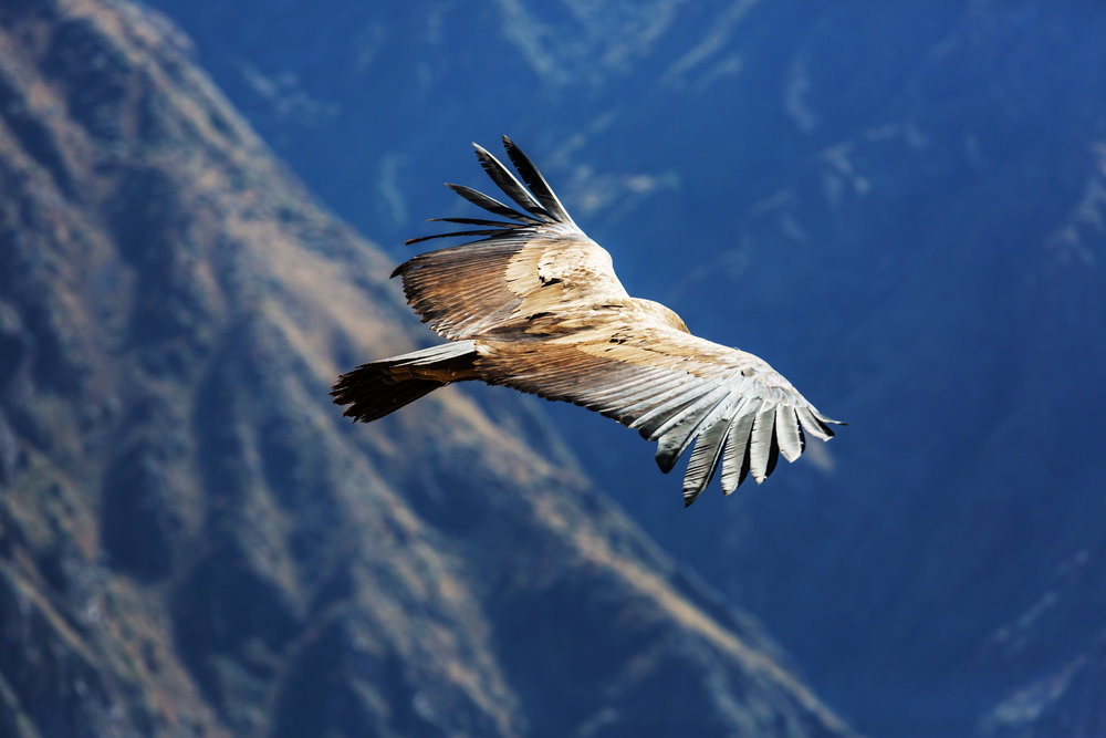 peru_colca_bigstock-Flying-condor-in-the-Colca-can-215109271.jpg