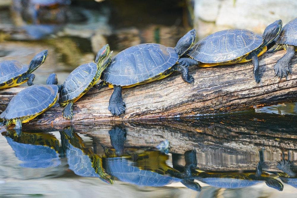 oman_bigstock-Turtles-sunbathing-on-a-tree-b-168761141.jpg