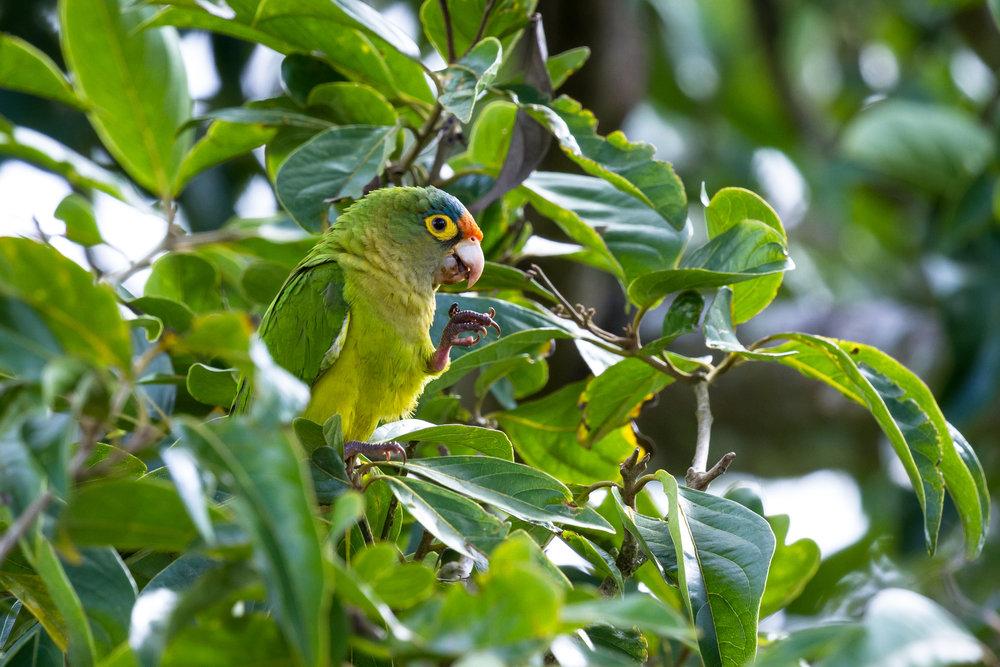 costarica_bigstock-Orange-fronted-Parakeet--Eups-211805380.jpg