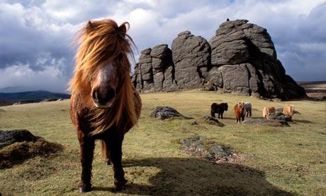 Dartmoor-ponies-on-Dartmo-006.jpg